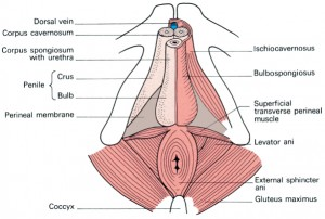 pelvic floor muscle exercises will help strengthen the male pelvic floor muscles